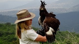 Download Like his sexy hairdo? Wait till you see him fly - Long Crested Eagle Video