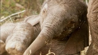 Download African Baby Elephants | Amazing Animal Babies | Earth Unplugged Video