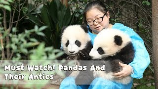Download Must Watch 4 ! Pandas And Their Antics | iPanda Video