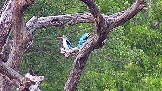 Download Djuma: Woodland Kingfisher pair- 16:30 - 01/23/2020 Video