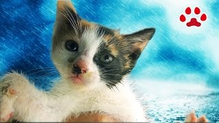 Download 雨の日、溺れていた子猫を保護した【瀬戸のみけ日記】I rescued the kitten which was drowning in the puddle and named her Mi-ke. Video
