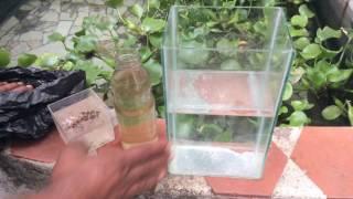 Download Reproducir mas de 10,000 larvas de mosquitos en varios dias en tu casa Video