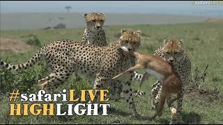 Download Cheetah boys get a hunting lesson! Video