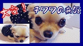Download 大変!チワワの病気(TдT)一大事~Oh my goodness!Chihuahua is sick !~ Video
