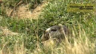 Download La Marmotta delle Alpi Video