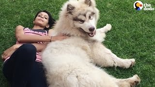 Download GIANT Dog Thinks He's a Lap Dog | The Dodo Video