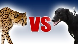 Download Cheetah vs Greyhound | World's Fastest Dog In Super Slow Motion | Slo Mo #29 | Earth Unplugged Video
