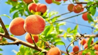 Download PEACH TREES - TIME LAPSE | Slide Show How to Grow Peaches Video