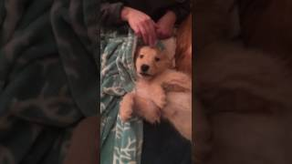 Download Dog Whines after Being Tickled Video