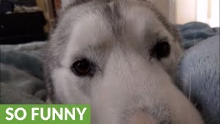 Download Happy husky prances for joy Video