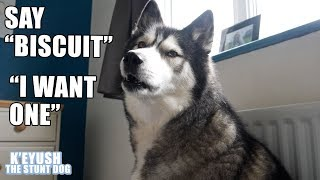 Download Husky Says His Own NAME! Teaching My Dog To Speak English! Video