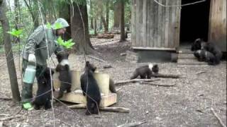 Download Пажетнов Вася и медвежата Pazhetnov Vasya & bear cubs Video