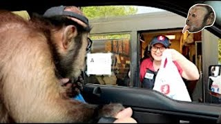 Download Capuchin Monkey Goes to Zaxby's! Video