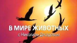 Download В мире животных с Николаем Дроздовым. Выпуск 35 (2017) Video