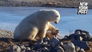 Download Polar bear stuns onlookers by petting dog instead of eating it Video