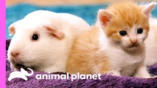 Download These Domestic Short-Haired Kittens Have A New Furry Friend! | Too Cute! Video