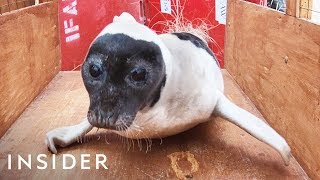 Download Seal Rescued From A House Backyard In Cape Cod Video