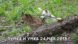 Download ПУМКА И УМКА 24 МАЯ 2018 Г. Video