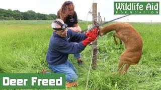 Download Tangled deer wrestles with wildlife rescuer! Video