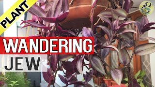 Download WANDERING JEW Plant Care and Propagation | How to grow Wandering Jew or Inch-Plant - English Video