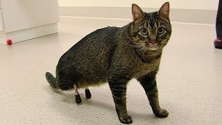 Download Meet the cat ISU vets outfitted with very rare prosthetic legs Video