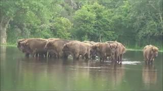 Download Kraansvlak: Bison land Video