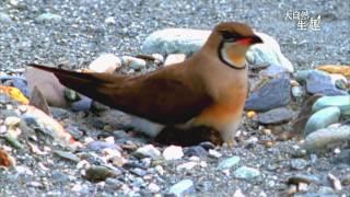 Download 《大自然生趣》 EP15:喜歡在河川地上築巢─燕鴴 Video