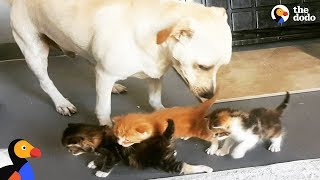 Download Abandoned Dog Helps Raise Kittens and Other Baby Animals | The Dodo Video