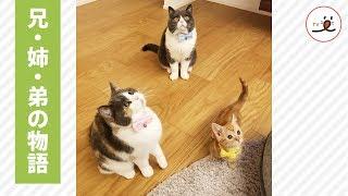 Download 末っ子を猫かわいがり❣2匹の先住猫による、弟「おこめ」の育児記録😻💕【PECO TV】 Video