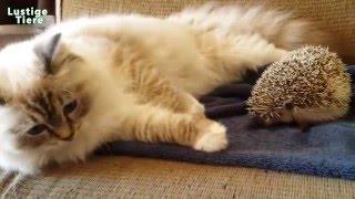 Download Hunde und Katze Trteffen Mit Igel zum ersten Zeit Zusammenstellung Januar 2016 Video