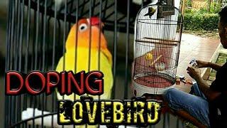 Download dopping jitu bikin lovebird gacor | rajin bunyi 100% anda tidak menyadarinya Video