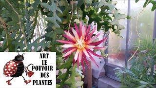 Download Chaîne jardinage: Cryptocereus anthonyanus:(selenicereus anthonyanus) bouture : Plante verte cactées Video