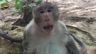 Download Old monkey upset sitting lonely Young monkey look so hungry Angkor Daily 721 Video
