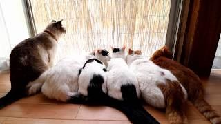 Download よしずの前の6匹の猫 170819 Video