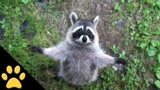 Download Raccoons Are Awesome: Compilation Video