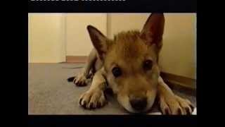 Download Wolf handraising at the Department of Ethology Eotvos University Video