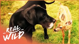 Download Kate The Dog Adopts Pippin The Baby Deer | Wild Things Video
