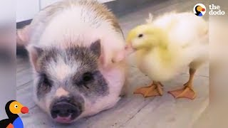 Download Rambunctious Rescue Pig Adopts Duckling | The Dodo Odd Couples Video