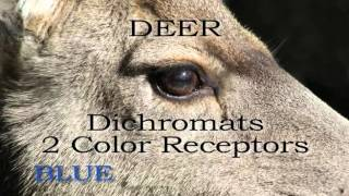 Download What Can Deer Really See? Video