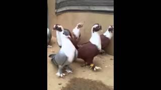 Download Şıhselle ( Çakçırlı ) Güvercinleri Video