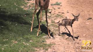 Download Gerenuk Calf is Born & Takes First Steps! Video