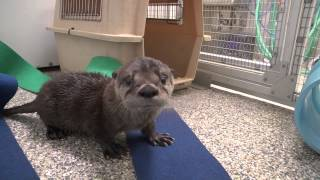 Download Rescued river otter pup Video