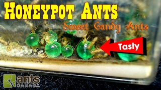 Download SWEET CANDY ANTS - Honeypot Ants | Ant Love Contest 2017 Video