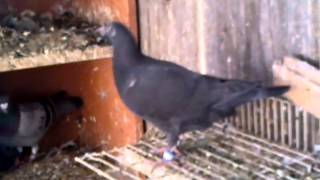 Black Racing Pigeons Free Download Video MP4 3GP M4A - TubeID Co