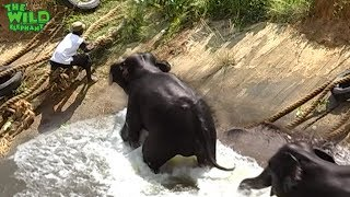 Download Two elephants saved from a canal, Thanks to kind people Video