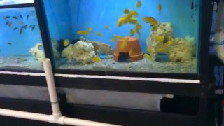 Download The.cichlid barn fish room tour #2 Video