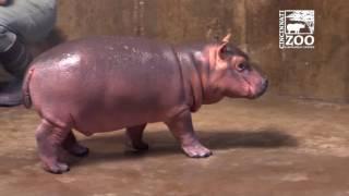 Download Premature Baby Hippo Fiona Explores Big Space - Cincinnati Zoo Video