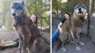 Download 15 Wolves You Won't BELIEVE Actually Exist! Video