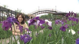 Download 磯山さやかの旬刊!いばらき『水郷潮来あやめまつり』(平成28年6月10日放送) Video