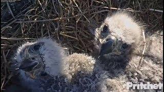 Download SWFL Eagles ~ Two Peas In A Pod ~ Comparisons & Incredible Closeups 1.16.18 Video